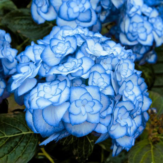 Garten-Hortensie Miss Saori, blau