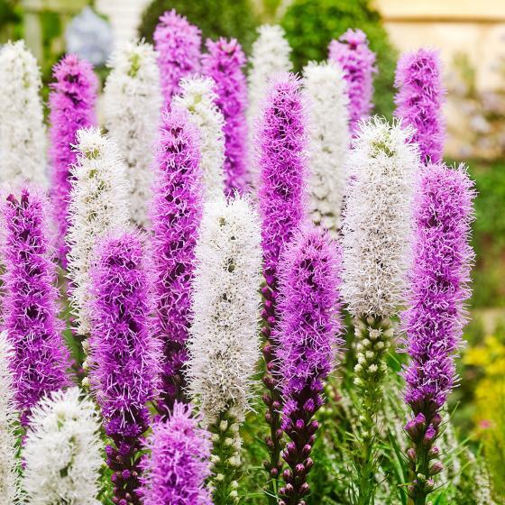 Prachtscharten Violett-Weiße Mischung