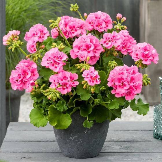 Calliope® Geranie Pink Splash, im ca. 12 cm-Topf