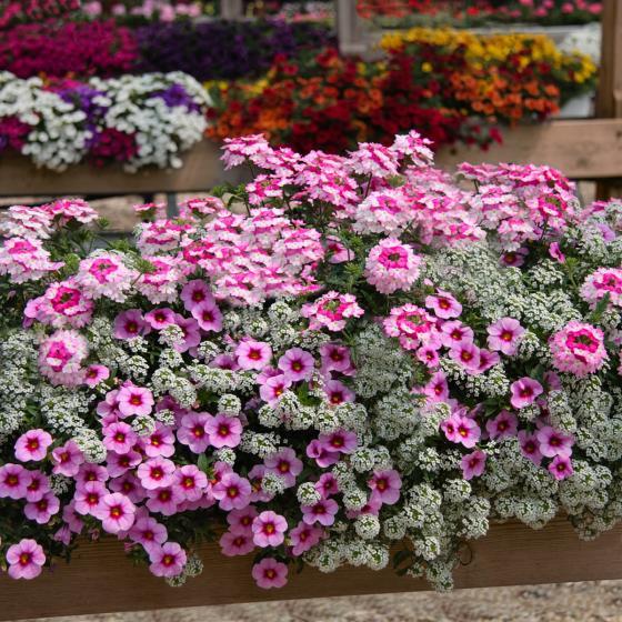 Sommerblumen-Sortiment Pink Happy