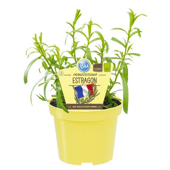 BIO Kräuterpflanze Französischer Estragon, im ca. 12 cm-Topf