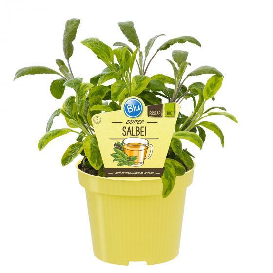 BIO Kräuterpflanze Salbei, im ca. 12 cm-Topf