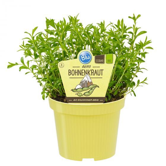 Bio-Kräuterpflanze Berg Bohnenkraut