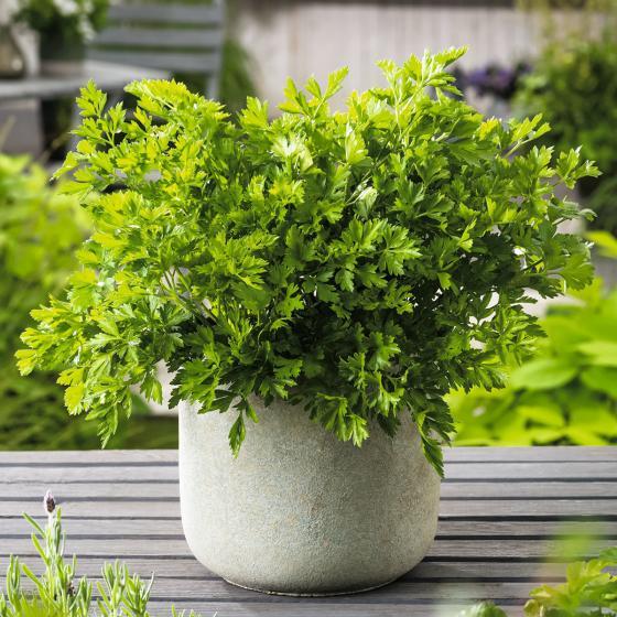 BIO Kräuterpflanze Glatte Petersilie, im ca. 11 cm-Topf