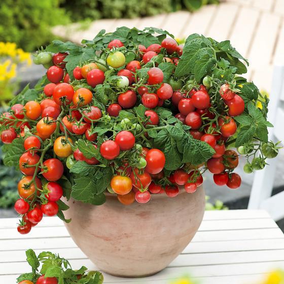 Balkon-Tomatenpflanze Primabell, veredelt, im ca. 12 cm-Topf