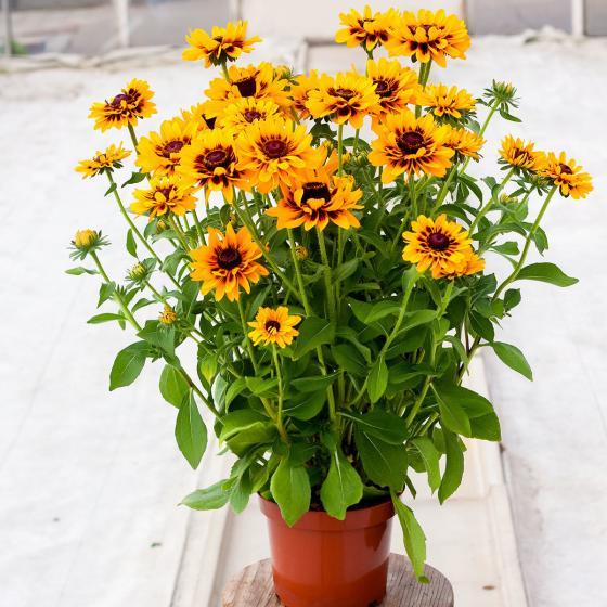 Sonnenhut Giggling Smiley, im ca. 19 cm-Topf