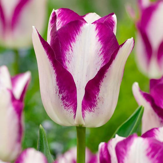 Tulpe Affaire