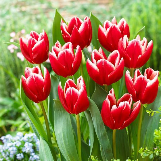 Tulpe Vampire