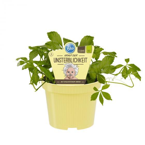 Blu Bio-Kräuterpflanze Unsterblichkeitskraut