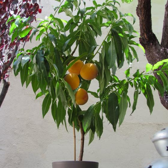 Gelber Balkon-Pfirsich Fruit Me®Peach Me Yellow