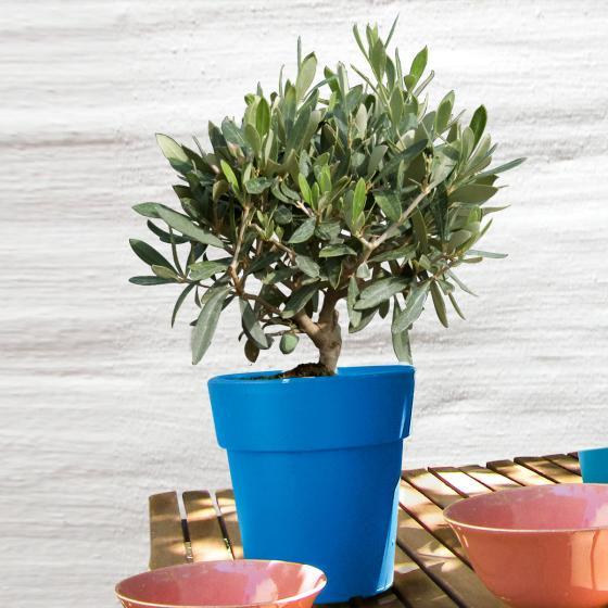 Mediterraner Mini-Olivenbusch