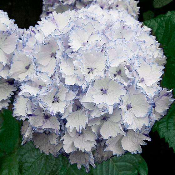 Ballhortensie Charming by Magical®, weiß-blau, im ca. 23 cm-Topf