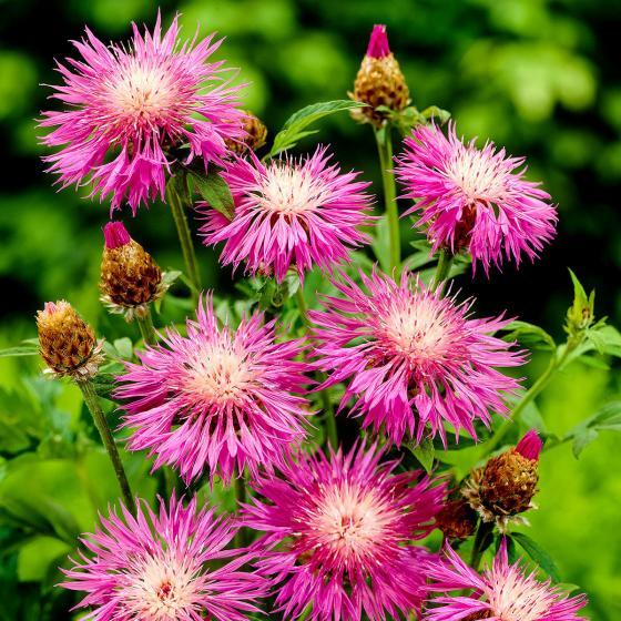 Rosa Flockenblume