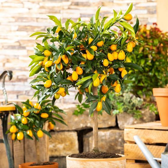 Calamondin-Orangen-Stämmchen, groß
