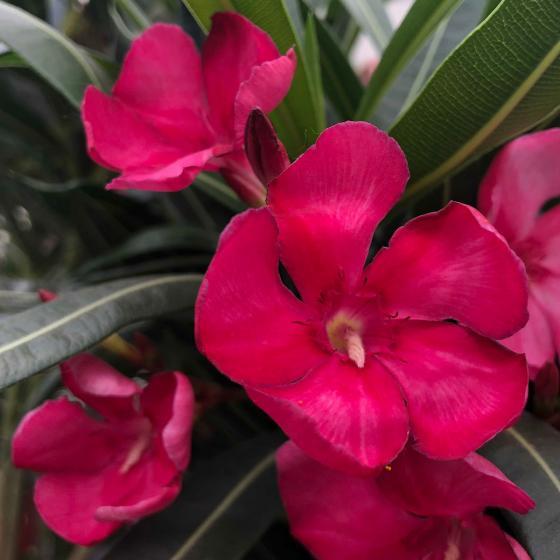 Oleander Busch, rot, XL-Qualität