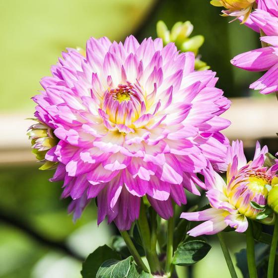 Gärtner Pötschkes lila-weiße Dahlie, 19cm-Topf