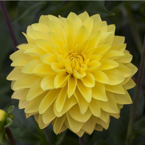 Dahlie, gelb, XL-Qualität