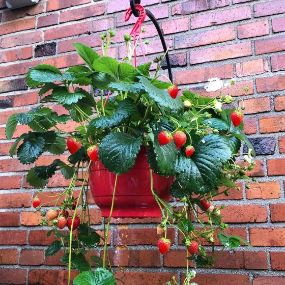 Erdbeer-Ampel, im ca. 27 cm-Ampel-Topf