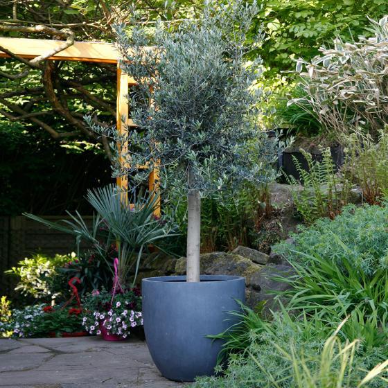 Oliven-Baum XXL, im ca. 55 cm-Topf