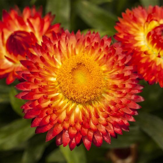 Rote Strohblume