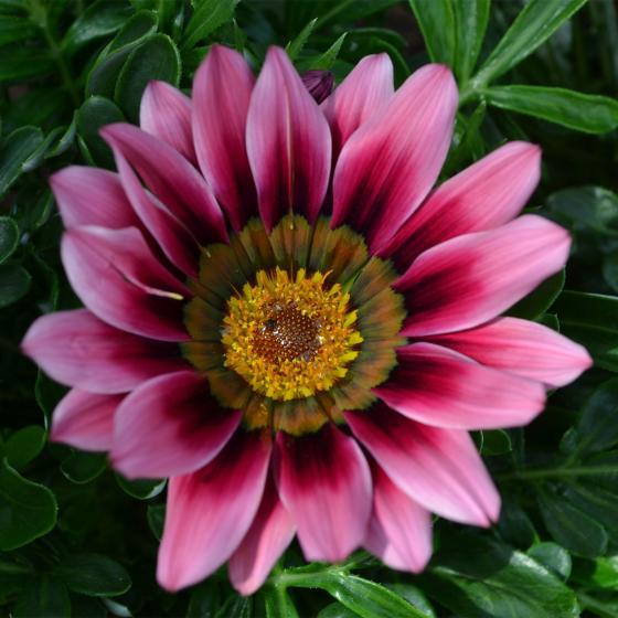 Pinkrosafarbenes Mittagsgold, im ca. 10,5 cm-Topf