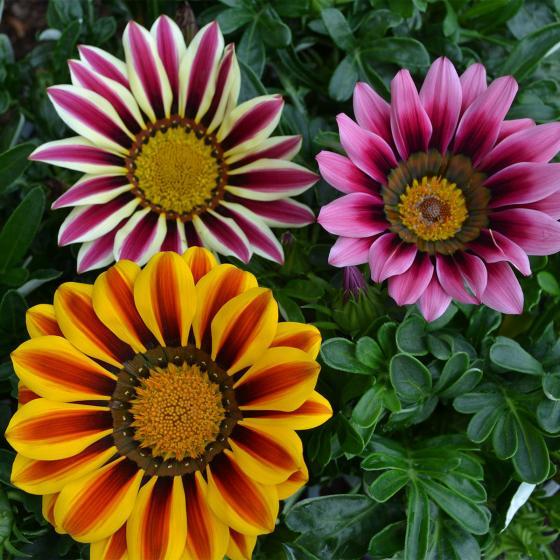 Sommerblumen-Sortiment Mittagsgold, 3 Stück