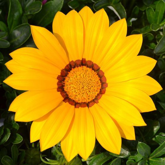 Gelbes Mittagsgold XL