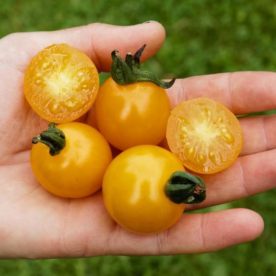 Tomatensamen Sunviva