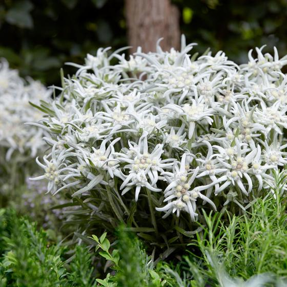 Edelweiß Blossom of Snow, im ca. 9 cm-Topf