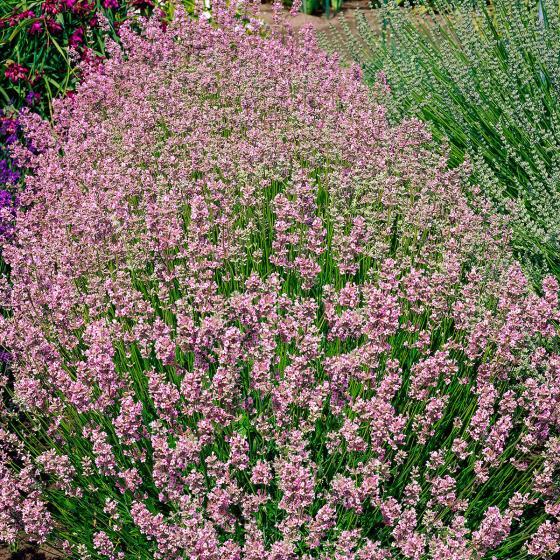Rosa Garten-Lavendel