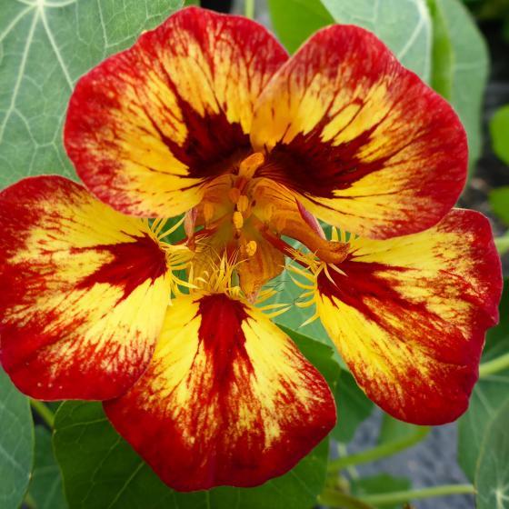 Kapuzinerkressensamen Orchid Flame