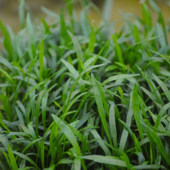 Brasilianische Graspflanze