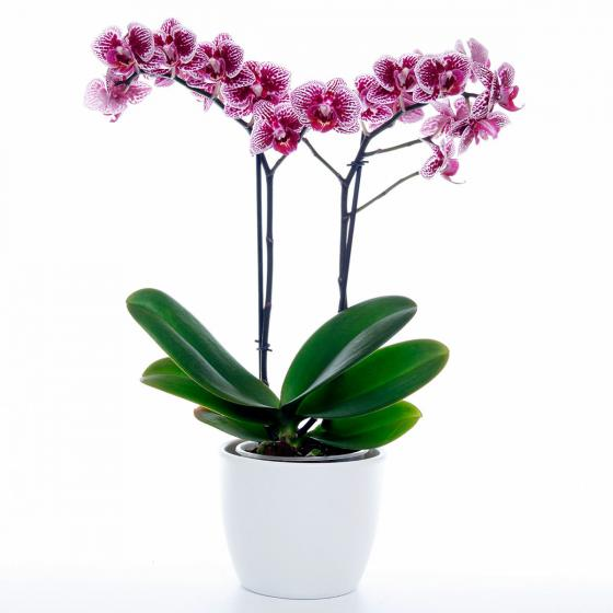 Schmetterlings-Orchidee Champion Swan