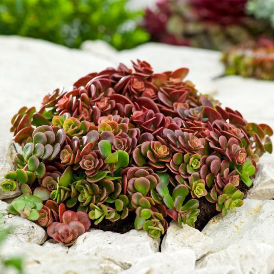 Sedum Coral Reef, im ca. 12 cm-Topf