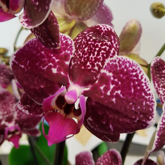 Schmetterlings-Orchidee Sonderfarbe