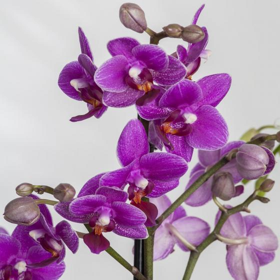 Pinke Schmetterlings-Orchidee