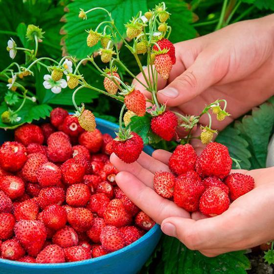 Wald-Erdbeerensamen Mignonette