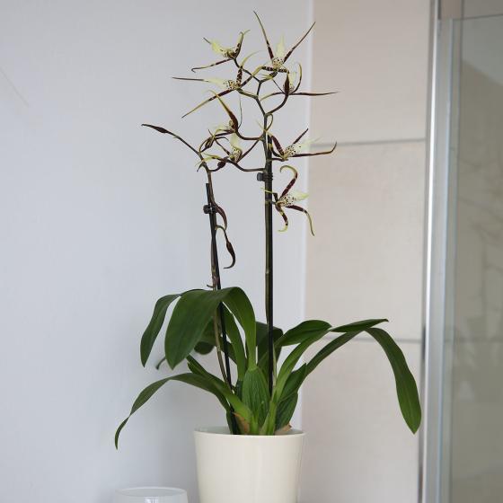 Spinnenorchidee Toscana