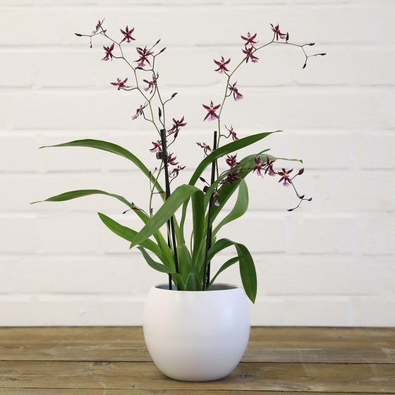 Orchidee Oncidium Katrin Zoch