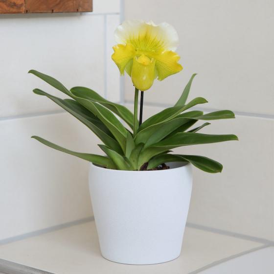 Frauenschuh, gelb