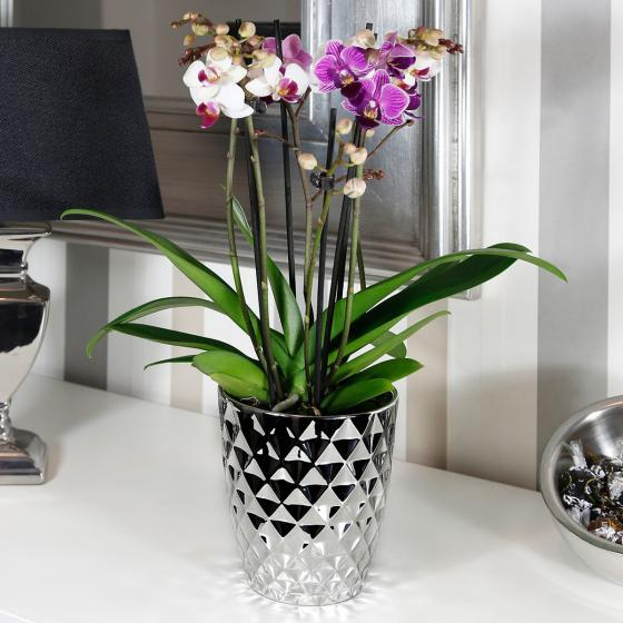 Schmetterlings- Orchidee Twin, im ca. 12 cm-Topf