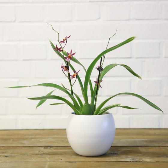 Orchidee Oncidium Katrin Zoch, gestreiftes Blatt