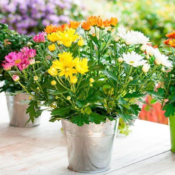 Chrysantheme Rock n Roll, 3-farbig