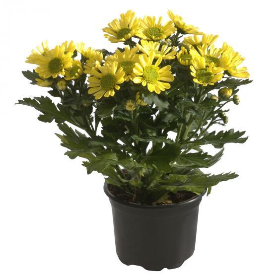 Herbst-Chrysantheme Mehrtrieber, gelb