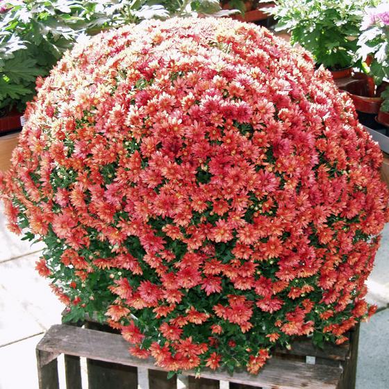 Herbst-Chrysantheme, Busch, rot