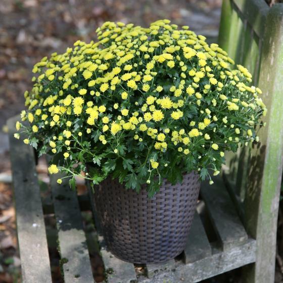 Herbst-Chrysantheme, Busch, gelb