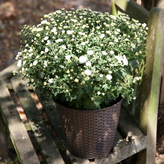Herbst-Chrysantheme, Busch, weiß