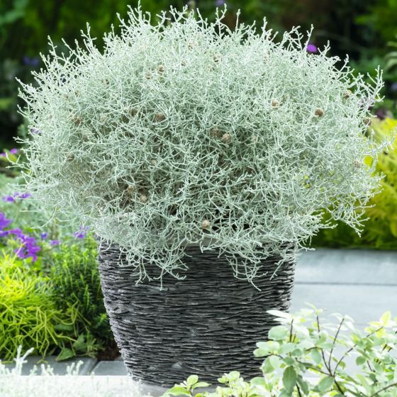 Stacheldrahtpflanze, im ca. 11 cm-Topf