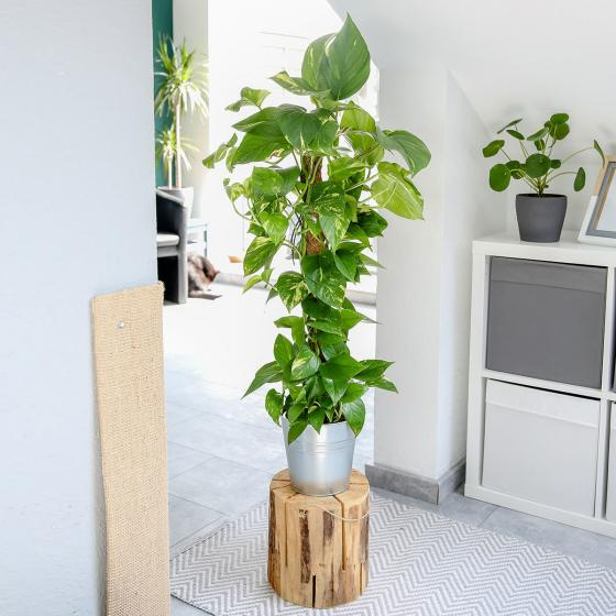 Kletterphilodendron am Moosstab, im ca. 17 cm-Topf