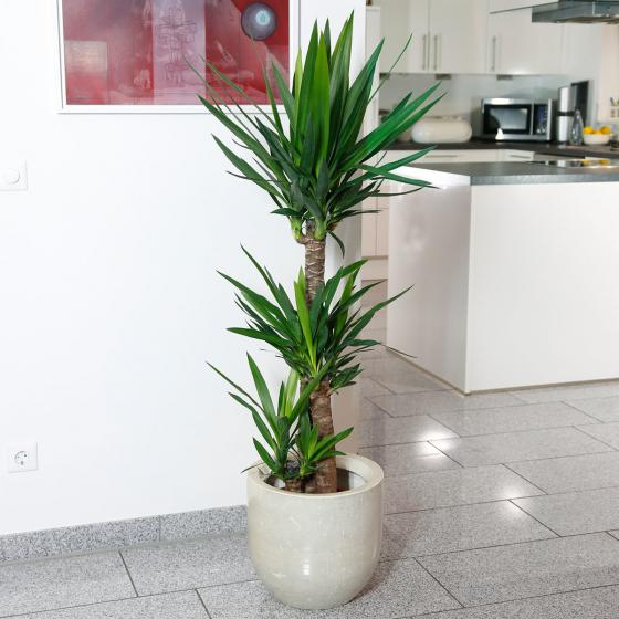 Riesen-Palmlilie, 3er Tuff, im ca. 24 cm-Topf